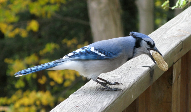 Blue_Jay_with_Peanut