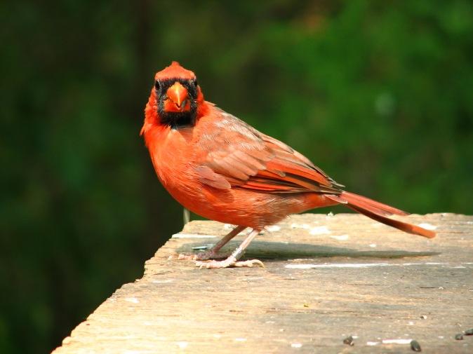 Cardinal_male_2