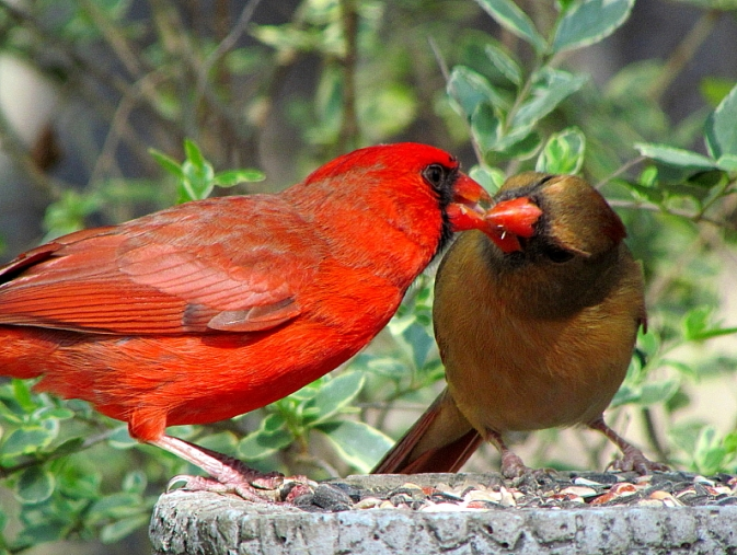 Cardinals kissing